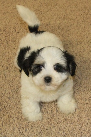 california havanese puppies